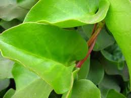 Manfaat Daun Binahong Untuk Pengobatan Herbal [ www.BlogApaAja.com ]