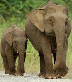 Ciri Khusus Binatang Gajah