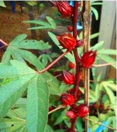 Manfaat Teh Bunga Rosella