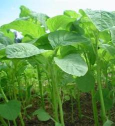 sumber asam folat alami