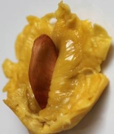 pengolahan biji durian