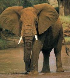 Contoh artikel bahasa inggris binatang gajah
