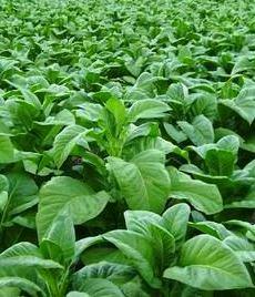 daun tembakau dan manfaat nikotin bagi tubuh