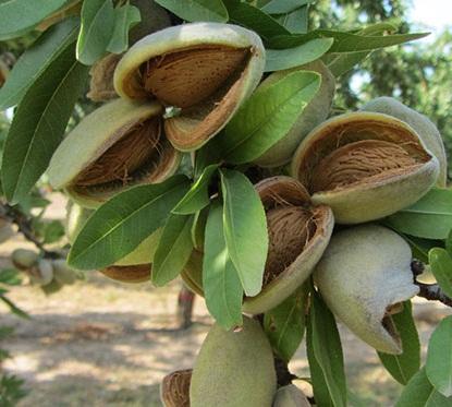 Tanaman dan bentuk pohon kacang almond di indonesia