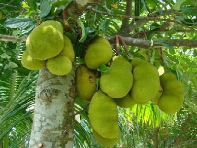 Ciri khusus tumbuhan nangka dan fungsinya