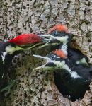 Ciri khusus burung Pelatuk