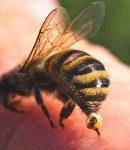 Ciri khusus hewan lebah beserta fungsinya