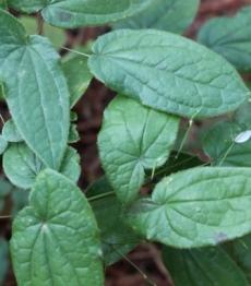 cara membuat ramuan perangsang wanita dengan Epimedium Sagittatum