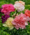 Berkebun bunga potong