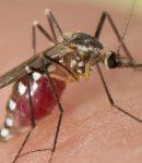 Ciri ciri khusus Nyamuk dan fungsinya