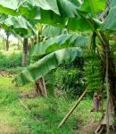 Ciri khusus tumbuhan pohon pisang dan fungsinya