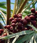khasiat buah Palem